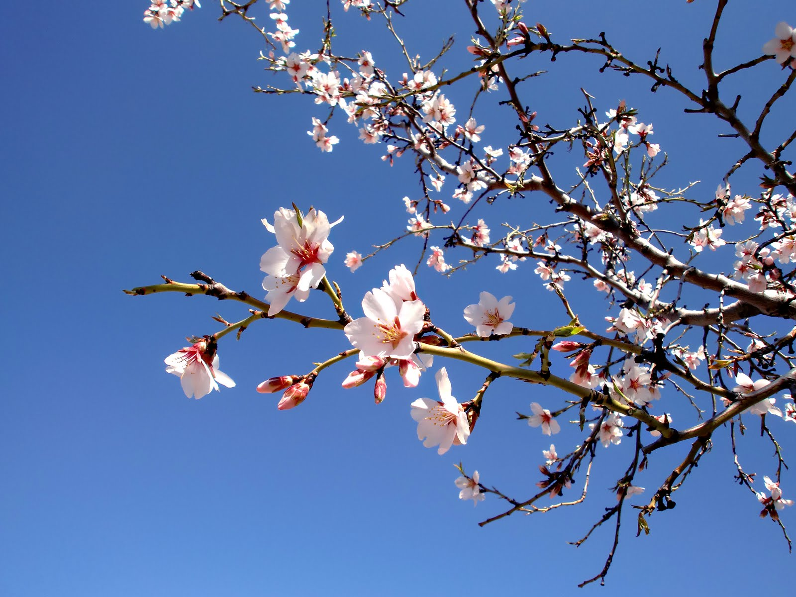 flores-de-almendro